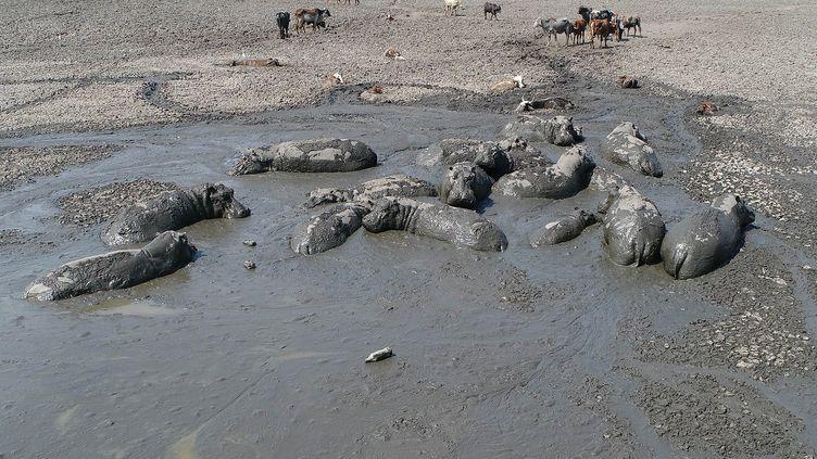Des hippopotames transhument loindulac Ngamiau Botswana. (MONIRUL BHUIYAN / AFP)
