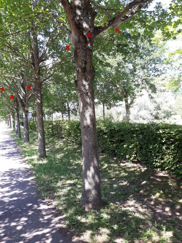 Un nid de chenilles processionnaires du chêne. (JEROME ROUSSELET / INRAE VAL DE LOIRE)