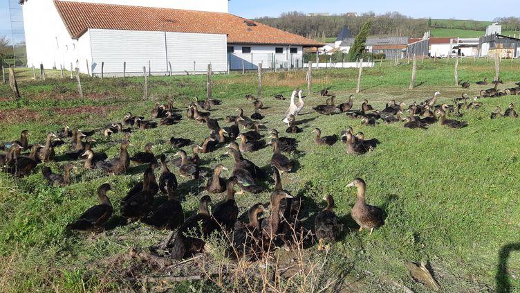 Les canards de la race kriaxera sont résistants au H5N8 selon les éleveurs. (BIXENTE VRIGNON / RADIOFRANCE)
