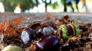 Des bogues de marrons vertes, aux petits pics, sont reconnaissables à celles des châtaignes. (FEDERICO GAMBARINI / DPA)
