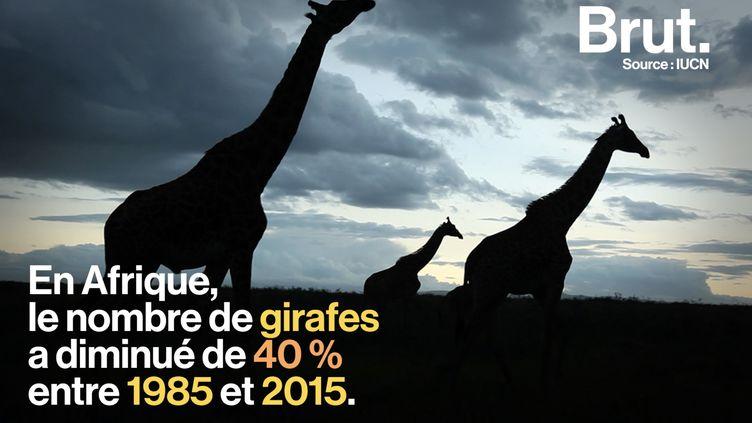 """VIDEO. Les girafes menacées d'""""extinction silencieuse"""" (BRUT)"""