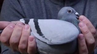 Chine : un pigeon voyageur vendu aux enchères pour 1,6 million d'euros (FRANCE 2)