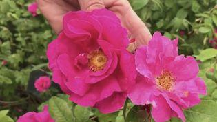 Provins : du Moyen-Âge à aujourd'hui, la rose reine de la ville (FRANCE 2)