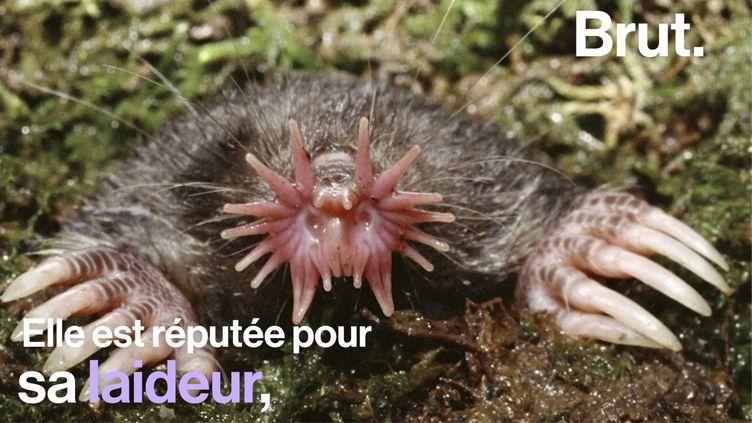 VIDEO. Le condylure étoilé, un animal au nez aussi étrange que redoutable (BRUT)