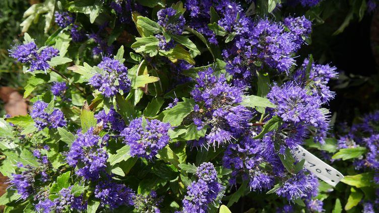 Caryopteris 'Grand Bleu'. (ISABELLE MORAND / RADIO FRANCE / FRANCE INFO)