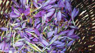 Les fleurs de safran sont récoltées à la main. Il en faut entre 150 et 200 pour obtenir un gramme de safran. (OLIVIER MARTOCQ / RADIOFRANCE)