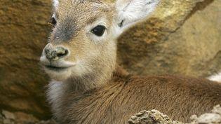 Une antilope sud-africaine photographiée le 20 mars 2005 dans le parc zoologique d'Amnéville (Moselle). (JEAN-CHRISTOPHE VERHAEGEN / AFP)