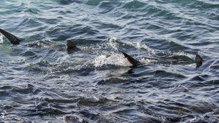 Des requins photographiés à Hadera (Israël), le 23 janvier 2017. (JACK GUEZ / AFP)