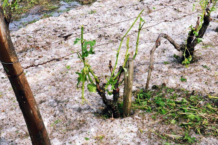 Un pied de vigne sur la commune de Vouvray (Indre-et-Loire) gravement endommagé par des grêlons, le 17 juin 2013. ( MAXPPP)