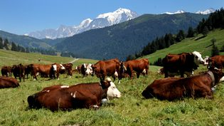 Plus une vache reste couchée, plus il est probable qu'elle se relève bientôt. C'est la surprenante étude qui a été récompensée par un Ig Nobel le 12 septembre 2013. (JEAN-PIERRE CLATOT / AFP)