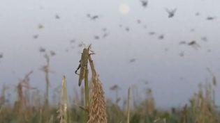 Plusieurs dizaines de milliers d'hectares de cultures ont été détruits par l'arrivée de sauterelles dans la région de Stavropol (Russie), indiquent plusieurs média russes, vendredi 31 juillet 2015. ( FRANCE 2)