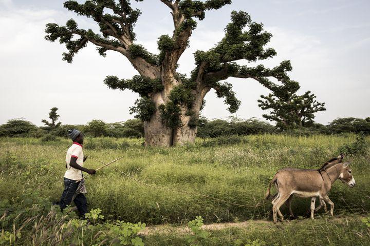 Un homme passeà côté d'un baobab avec ses ânes près de la forêt de Bandia (Sénégal) le 25 septembre 2019. (JOHN WESSELS / AFP)