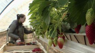 Agriculture : le manque de saisonniers inquiète. (FRANCE 2)