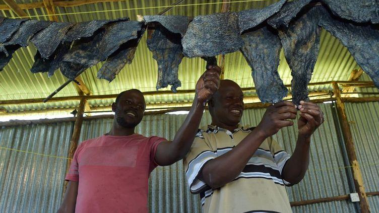 une fois correctement tannées et assouplies. Ce poisson est une espèce hautement invasive, qui décime presque tous les autres occupants du lac Victoria, pourtant autrefois nombreux et variés. Il reste encore des tilapias, qui sont très consommés et exportés partout dans le monde. Kényan de l'ouest du pays,Newton Owino (à droite) a remarqué que rien n'était fait des 150.000 tonnes de déchets de peaux de poisson produites chaque année. «Ma principale activité ici est de transformer la peau de poisson en cuir. (Il y a) beaucoup de matières premières.» Après s'être formé à la chimie du tannage en Inde, il a monté et installé son entreprise qui désormais utilise et valorise les peaux de poissons –perches et tilapias –pour fabriquer des articles de maroquinerie. (TONY KARUMBA / AFP)