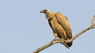 Un vautour photographié au Botswana. (E.J. PEIKER / BIA / MINDEN PICTURES / AFP)