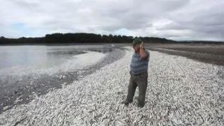 Six centtonnes de sardines mortes ont été retrouvées à Tolten (Chili), dimanche 15 mai 2016. (AP)