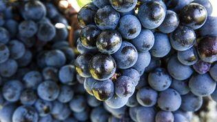 Des grappes de raisin rouge. (ISABELLE ROZENBAUM / MAXPPP)