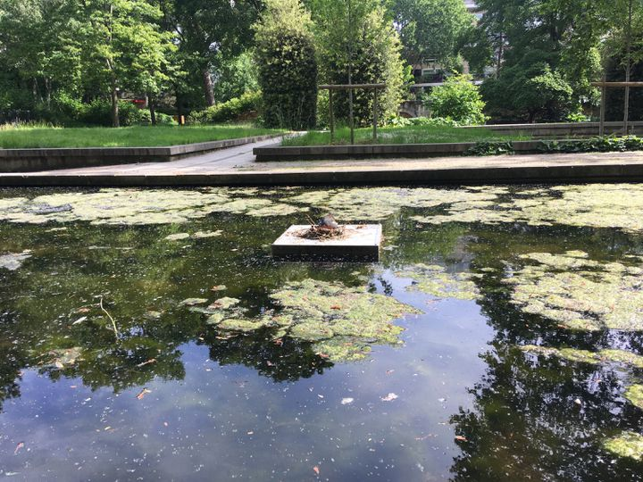 Une poule d'eau couveen plein milieu d'un plan d'eaudans le parc de Bercy dans le 12e arrondissement de Paris, fermé au public en raison du confinement, le 8 mai 2020. (FARIDA NOUAR / RADIO FRANCE)