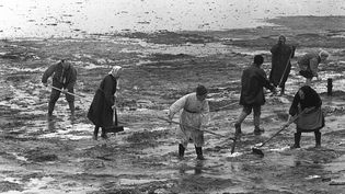 """Le 15 avril 1967, des volontaires nettoient la plage de Port-Blanc, en Bretagne, souillée par le pétrole échappé du """"Torrey Canyon"""" (STAFF / AFP)"""