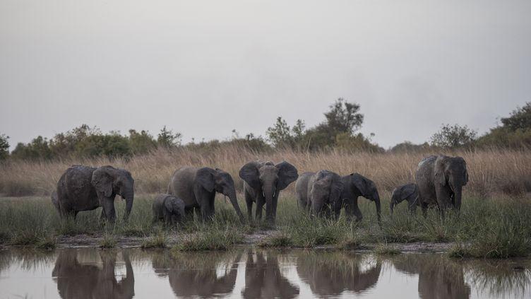 Des éléphants se désaltèrent dans le parc national de la Pendjari, au Bénin, le 10 janvier 2018. (STEFAN HEUNIS / AFP)