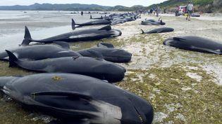 Plus de 400 baleines-pilotes se sont échouées, dans la nuit du 9 au 10 février 2017, sur une plage de Nouvelle-Zélande. (NEW ZEALAND DEPARTMENT OF CONSERVATION / AFP)