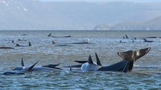 Des dauphins échoués en Tasmanie en septembre 2020. (BRODIE WEEDING / POOL / AAP / THE ADVOCATE POOL)
