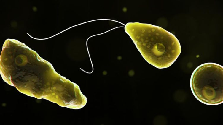 Illustration de l'amibe Naegleria fowleri.  (© Centers for Disease Control and Prevention)