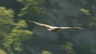 Espère emblématique des montagnes, le vautour fauve niche en vallée d'Ossau (Pyrénées-Atlantiques), où les gardes forestiers peuvent les suivre à la trace. France 3 est allée à leur rencontre. (FRANCE 3)