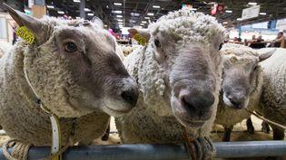 Des moutons photographiés au Salon de l'agriculture, à Paris, le 26 février 2019. (RICCARDO MILANI / HANS LUCAS / AFP)