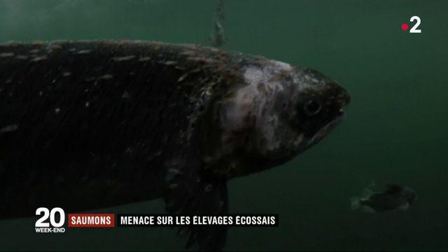 Menace sur les élevages écossais de saumon