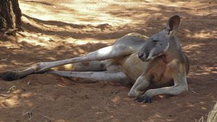 De l'Australie, ne connaissons-nous que le kangourou ? (CHRISTIAN WATIER / MAXPPP)