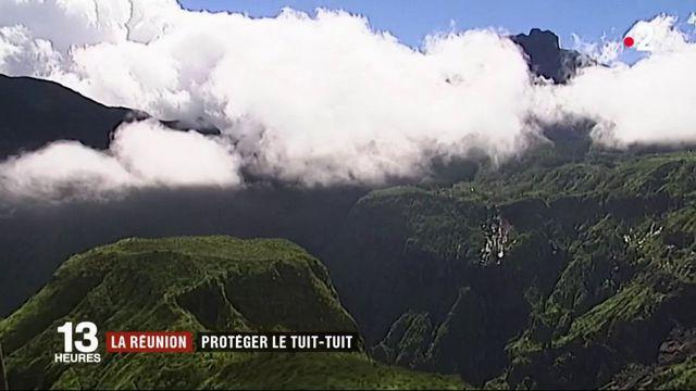 La Réunion essaie de protéger son oiseau, le Tuit-tuit