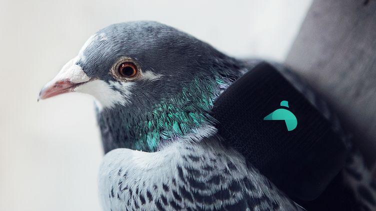 Un pigeon équipé d'un capteur de pollution et d'un GPS, lâché le 16 mars 2016 dans le ciel de Londres (Royaume-Uni). (DIGITASLBI / AFP)