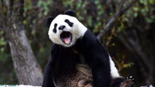 Le panda géant Jia Jia, au Siberian Tiger Park deChangchun (Chine), le 4 octobre 2016. (CHINE NOUVELLE/SIPA / XINHUA)