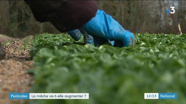 Pesticides : la mâche va-t-elle augmenter ?