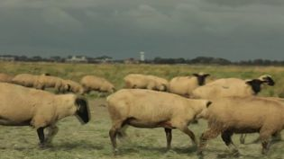 Comme chaque jour dans la rubrique 13 Heures en France, les équipes duJTvous font découvrir les richesses de la France.Aujourd'hui, c'est labaie-de-sommequi est à l'honneur.Les caméras de France 2 sont allées à la rencontre d'éleveurs d'agneaux de prés-salés. (CAPTURE ECRAN FRANCE 2)