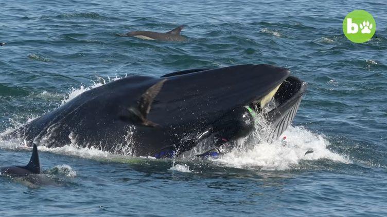 Un plongeur a été avalé par une baleine avant d'être recraché vivant, en Afrique du Sud, en février 2019. (BARCROFT ANIMALS / YOUTUBE)