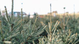 Des sapins de Noël dans une pépinière de Gironde, le 10 novembre 2020. (CONSTANT FORME-BECHERAT / HANS LUCAS / AFP)