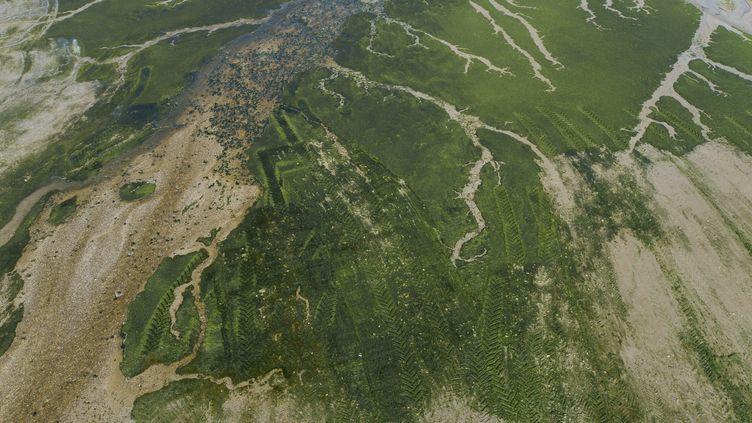 Des algues vertes dans la baie de Douarnenez (Finistère), le 21 juin 2021. (MAXPPP)