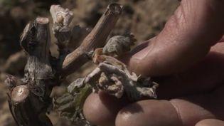Dans la Drôme, le gel de ces derniers jours a eu un impact dévastateur sur les cultures. (CAPTURE ECRAN FRANCE 2)