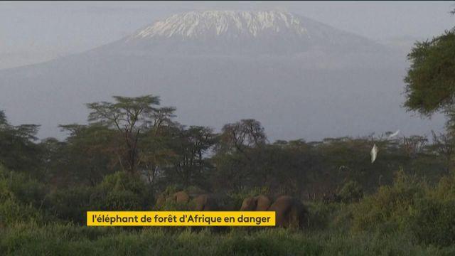 L'éléphant de forêt d'Afrique est menacé d'extinction