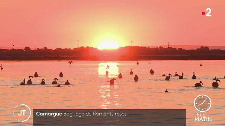 Des flamants roses en Camargue. (France 2)