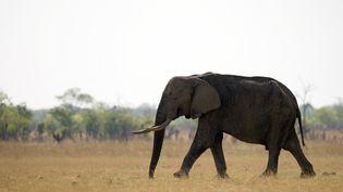 Un éléphant d'Afrique photographié dans le parc national Hwange au Zimbabwe le 17 novembre 2012. (MARTIN BUREAU / AFP)