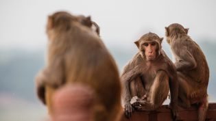 Des singes, à Agra (Inde), le 27 octobre 2016. (MAXPPP)