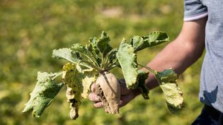 Des betteraves contaminées par la jaunisse après l'invasion de pucerons verts dans les plantations, à Saint-Just-en-Brie (Seine-et-Marne), le 11 septembre 2020. (EMERIC FOHLEN / NURPHOTO / AFP)