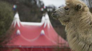 Une photo prise le 26 mars 2016 montre un chameau au cirque Zavatta à Pont-Audemer (Eure). (JOEL SAGET / AFP)