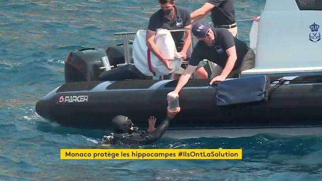 Hippocampes Monaco