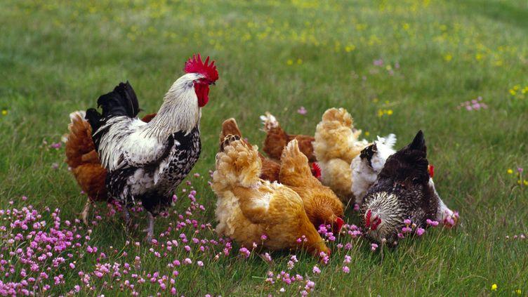 Le Gers est réputé pour ses volailles élevées en plein air et nourries au grain. (BENGT OLOF OLSSON / AFP)