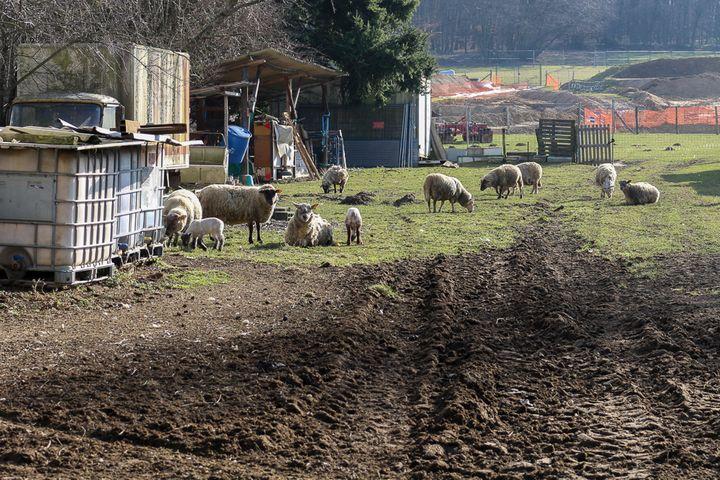 Les moutons de Philippe Layat paissent à la porte de sa ferme,le 13 février 2015, à Décines (Rhône). (BENOIT ZAGDOUN / FRANCETV INFO)