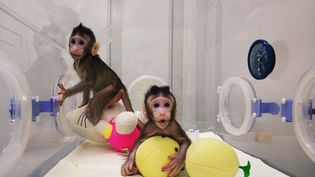 Agés respectivement de 8 et 6 semaines, les deux bébés singesZhong Zhong etHua Hua, sont identiques grâce à une technique de clonage déjà utilisé pour la célèbre brebis Dolly il y a plus de 20 ans. (AFP / CHINESE ACADEMY OF SCIENCES)